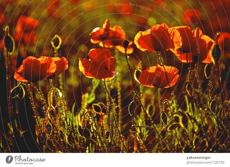 Mohn Pflanze rot Sommer Tier Feld Duft Pollen