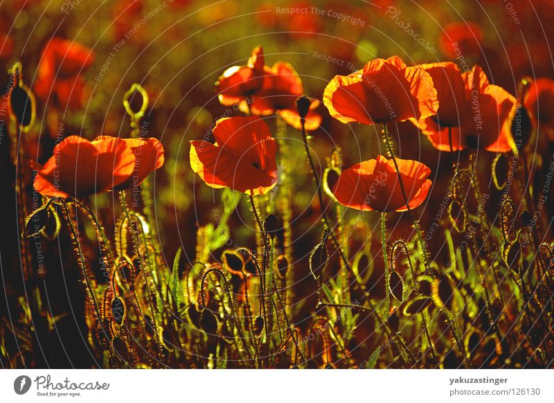 Mohn rot Gegenlicht Licht Feld Pflanze Tier Sommer Duft Pollen