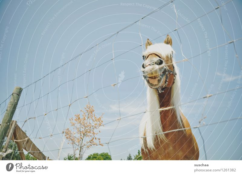 *grins* Pferd Ponys Zaun Maschendrahtzaun Mähne grinsen Reiten Gehege Weide Außenaufnahme ponyhof Reiterhof Landwirtschaft