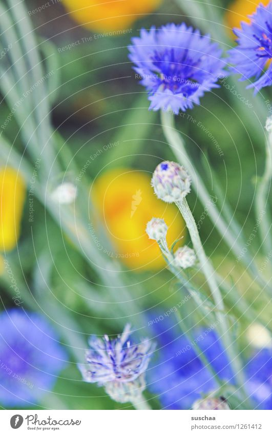oh ein blümchenfoto natur draussen garten gärtnern blumen sommer kornblumen gras blüten