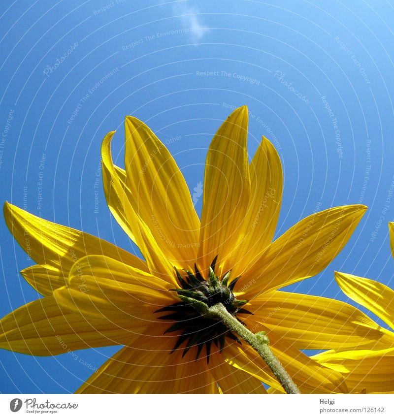 gelbe Blüte aus der Froschperspektive vor blauem Himmel Blume Sonnenblume Blütenblatt Stengel Seite nebeneinander emporragend grün braun lang dünn Sommer Juli