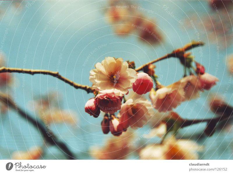 Japanischer Frühling Pflanze Baum Blume Blüte rosa Dekoration & Verzierung frisch Ast Blühend Schönes Wetter Jahreszeiten zart Asien Zweig Blütenknospen