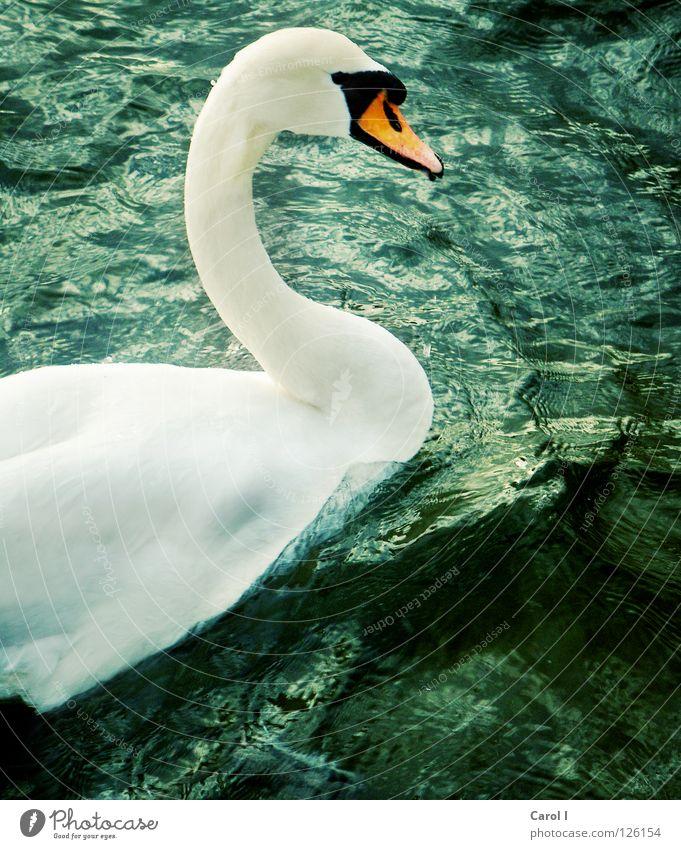 Wellenreiter grün Schwan Schnabel dunkel Wind weiß Feder Vogel tief Eisenbahn See Schweiz Zugersee Sturm Leben Leidenschaft Unwetterwarnung gefährlich Tier