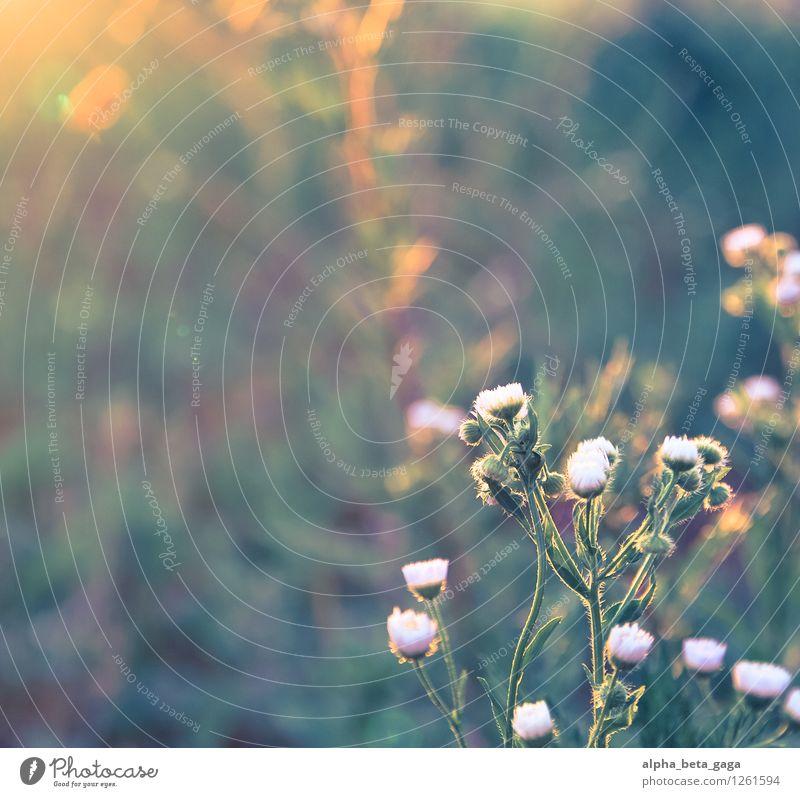 . Pflanze Sommer Blume Frühling Wiese Gras Wege & Pfade Feld Wachstum Idylle Vergänglichkeit Sonnenbad Abenddämmerung Gänseblümchen
