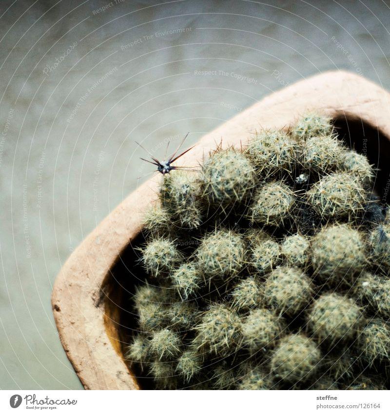 Für Ulli grün Pflanze gelb Wüste Schmerz Topf Lied Mexiko Kaktus Stachel stachelig Zimmerpflanze Kinderlied
