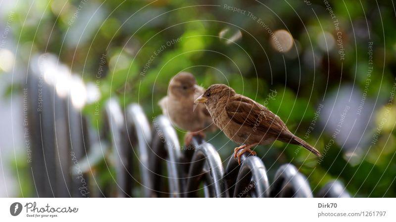 Großstadtspatzen im Gespräch Natur Stadt grün Sommer weiß Tier schwarz sprechen Wege & Pfade grau Garten braun Vogel Park Wildtier Sträucher