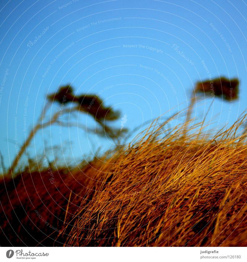 Weststrand Windflüchter Gras Fischland-Darß-Zingst Leidenschaft Waldrand schön Baumstamm grün Wiese Sturm Strand rau Umwelt Farbe Küste Kiefer Himmel Ostsee