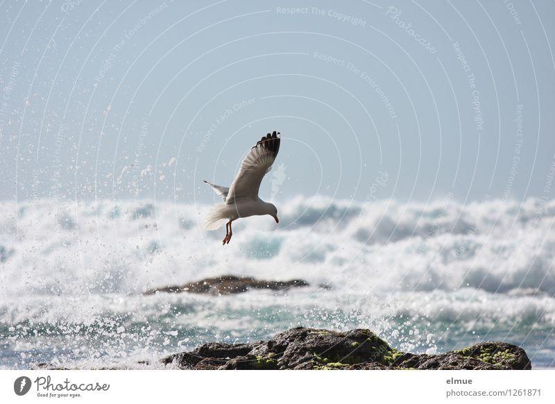 Morgendusche Natur blau Wasser weiß Tier Bewegung Küste Freiheit fliegen Vogel Felsen träumen frisch elegant Wellen Kraft