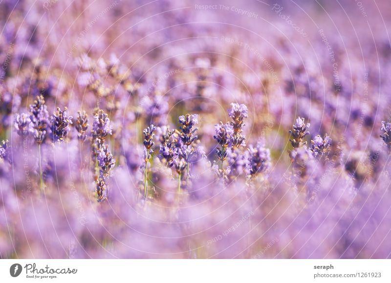 Lavendel aromatisch gedeihen Dekoration & Verzierung geblümt flamboyant duftig Alternativmedizin Medikament natürlich organisch verziert Romantik Wittern Blume