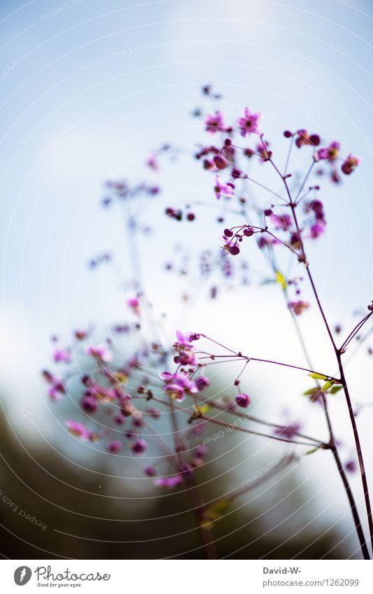 starke Tiefenschärfe Umwelt Natur Pflanze Wolkenloser Himmel Frühling Sommer Schönes Wetter Blume Garten Park Wiese Duft dünn elegant schön Stimmung Romantik
