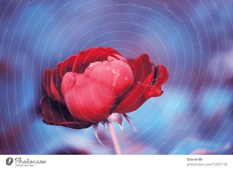 Die Tage sind gezählt Natur blau Pflanze schön Sommer Blume rot dunkel kalt Liebe Frühling Herbst Paar elegant Wassertropfen fantastisch