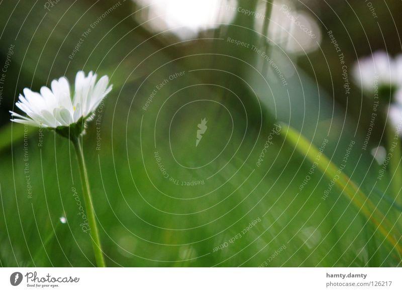 Blümchen Gänseblümchen Blume Sommer grün Wiese Gras sureal Garten