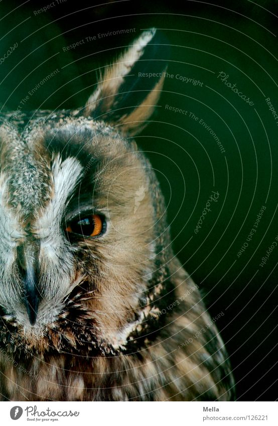 Ich hab dich im Blick! Natur Tier Vogel nah Tiergesicht natürlich Konzentration Wildtier direkt Hälfte frontal Eulenvögel Uhu