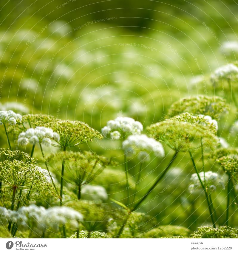 Apiaceae Kräuter & Gewürze Alternativmedizin Medikament Natur Pflanze Blume Blatt Blühend Idylle geblümt gedeihen Stauden organisch Blütenknospen Blütenkelch