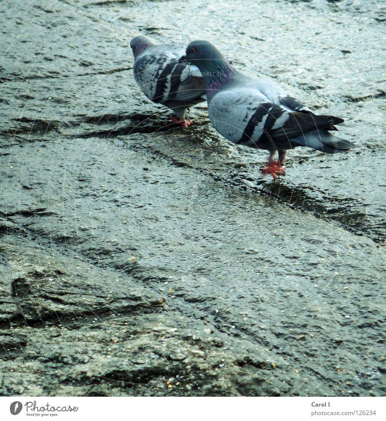 romantischer Spaziergang!!! Taube Brunft Vogel Feder Muster Ehe nass fliegen See Romantik aufdringlich Zusammensein Schweiz Liebe Frieden laufen blau Bodenbelag