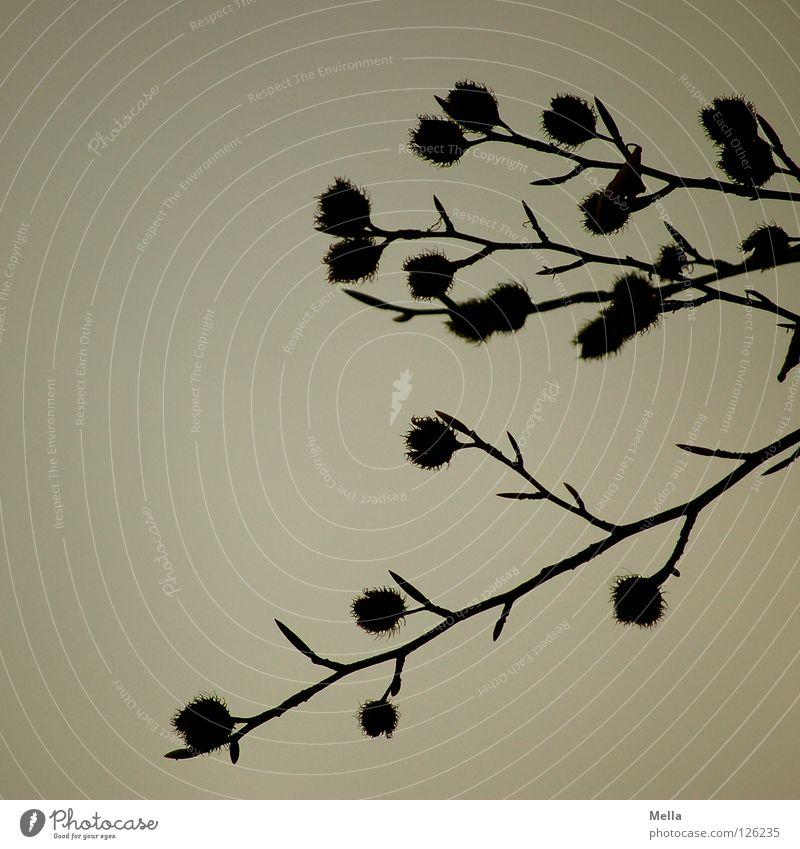 Buchen sollst du suchen Umwelt Natur Pflanze Himmel Baum Buchecker Ast Zweige u. Äste hängen Wachstum dunkel nachhaltig natürlich trist grau trüb Farbfoto