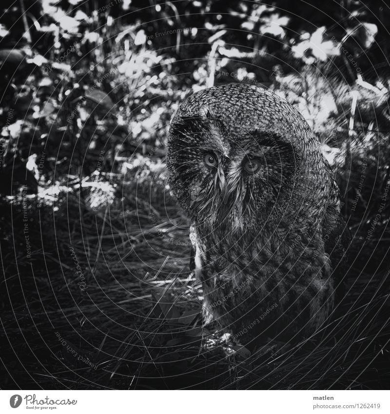 schau mir in die Augen Pflanze Baum Gras Tier Vogel Tiergesicht 1 Blick dunkel schwarz weiß Eulenvögel unten Schwarzweißfoto Außenaufnahme Detailaufnahme