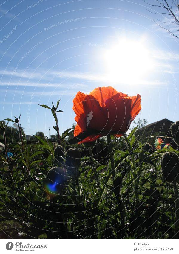 Pipatsch Wiese Mohn Gras Sonnenuntergang Sommer Frühling grün rot traumhaft schön Spielen Blume Park Himmel blau Pflanze Idyle