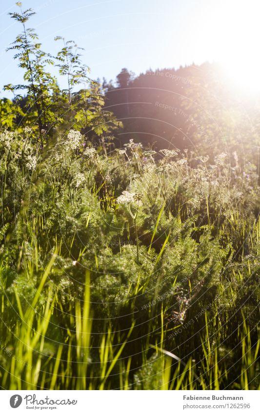 Spätsommerwiese Natur Pflanze Wolkenloser Himmel Sonne Sommer Herbst Schönes Wetter Blume Gras Sträucher Wiese Hügel Berge u. Gebirge blau grün schwarz weiß