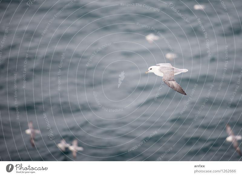 Nördlicher Eissturmvogel, der über Wasser fliegt Meer Umwelt Natur Tier Himmel Wind Vogel Flügel 4 Tiergruppe fliegen grau weiß nördlich Segelfliegen