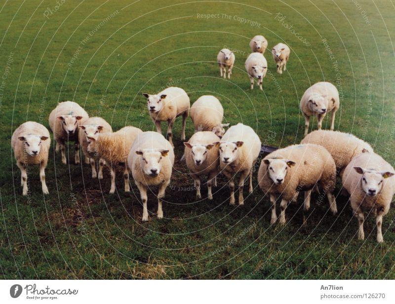 Määäh ihr Schafe grün Weide Schaf Niederlande Säugetier Wolle Ameland 17 Tier mäh
