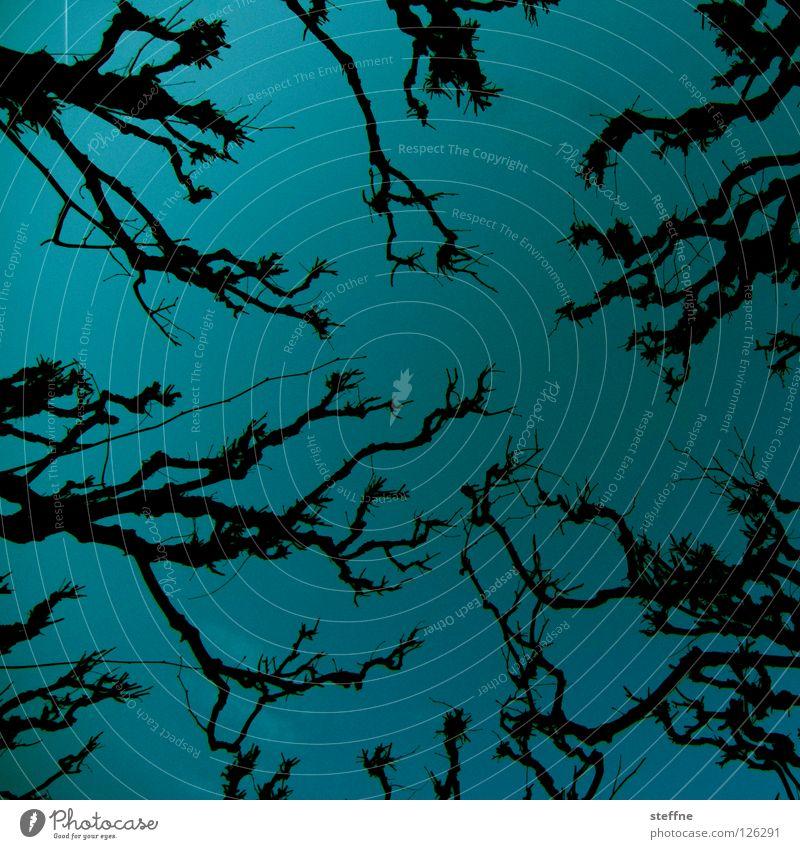 Totentanz zyan streben eigenwillig unheimlich Hexe Zauberei u. Magie krumm Verhext durcheinander Baum Bäume Ast Himmel blau alt Platane Krüppelkiefer gruslig