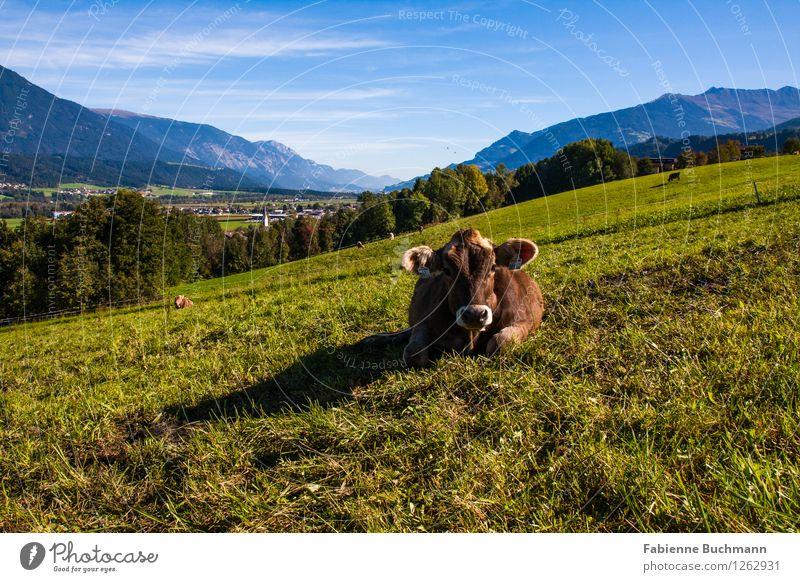Kuschelkuh Landschaft Pflanze Tier Himmel Sonnenlicht Herbst Schönes Wetter Wiese Wald Alpen Berge u. Gebirge Dorf Haus Nutztier Kuh Tiergesicht 1 blau braun