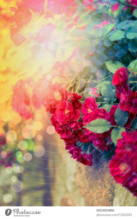 Rote Rosen in Sonnenlicht Design Sommer Garten Natur Pflanze Sonnenaufgang Sonnenuntergang Herbst Schönes Wetter Blume Blatt Blüte Park Blumenstrauß gelb Duft