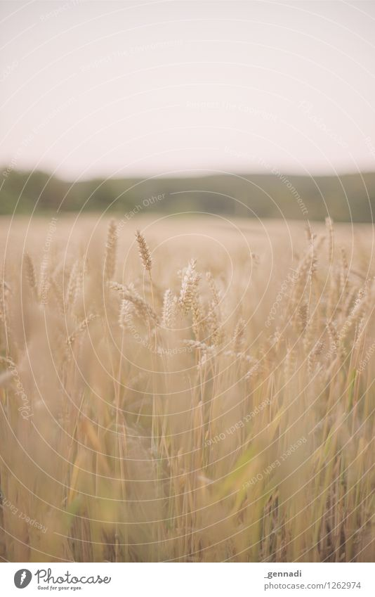 Getreide Umwelt Natur Landschaft Urelemente Pflanze Nutzpflanze Weizen Weizenfeld authentisch Feld Halm Farbfoto Außenaufnahme Menschenleer Textfreiraum oben