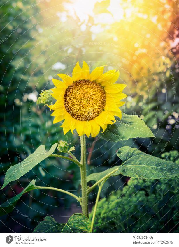 Perfekte Sonnenblume im Garten Natur Pflanze schön Sommer Sonne Blume gelb Herbst Stil Hintergrundbild Garten Park Design Freizeit & Hobby Dekoration & Verzierung Schönes Wetter