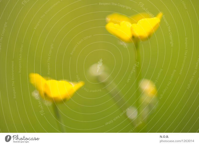 Flowering Pflanze Sommer Blume Gras Blüte Wildpflanze Wachstum frei hell klein Leben Glück nachhaltig Natur Farbfoto Außenaufnahme Nahaufnahme Menschenleer