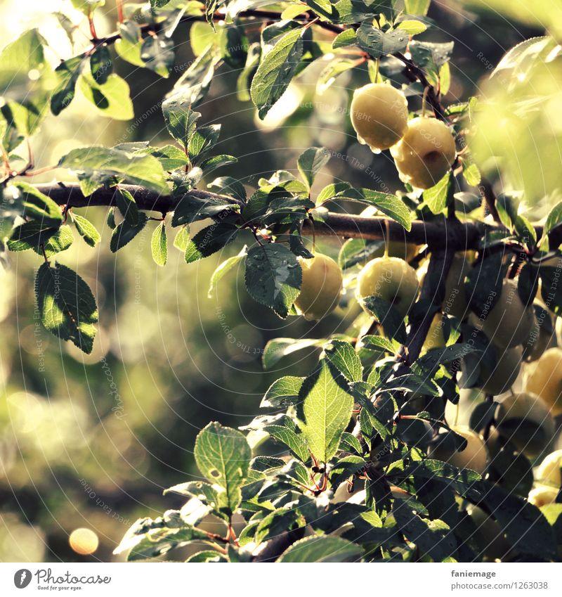 Mirabellen Umwelt Natur Sommer Baum frisch Gesundheit Obstbaum Fallobst grün hellgrün dunkelgrün gelb Unschärfe Ast Zweig Obstgarten sommerlich Morgen