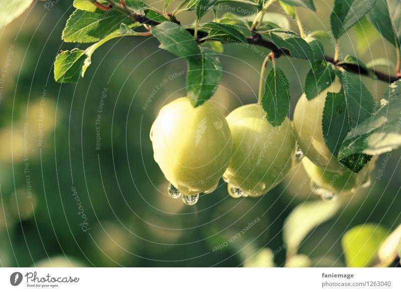 Tautropfen Umwelt Natur Wasser Wassertropfen Sonne Sommer Schönes Wetter Blatt frisch Gesundheit glänzend Mirabelle Obstbaum Fallobst Obstgarten Garten pflücken