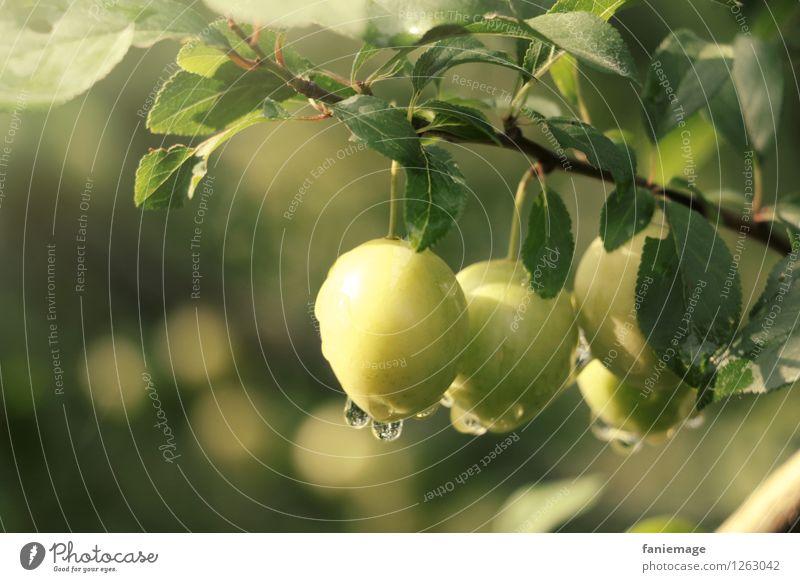 Tautropfen II Umwelt Natur Wassertropfen Sommer frisch Gesundheit Gesunde Ernährung Obstgarten Obstbaum Frucht Fallobst Mirabelle grün gelb hellgrün dunkelgrün