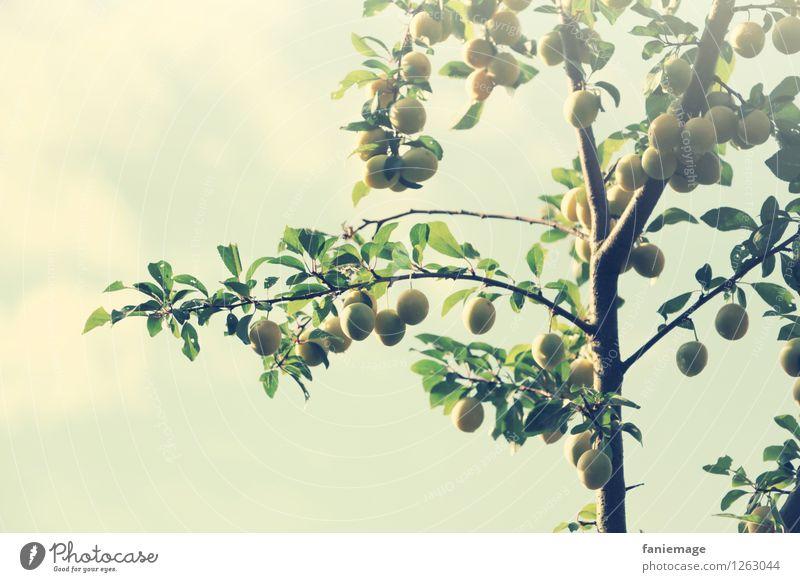 Früchtchen Umwelt Natur Himmel Sommer Baum frisch Gesundheit Mirabelle Zweig Ast Zweige u. Äste sommerlich Garten Außenaufnahme Obstgarten Obstbaum Frucht gelb