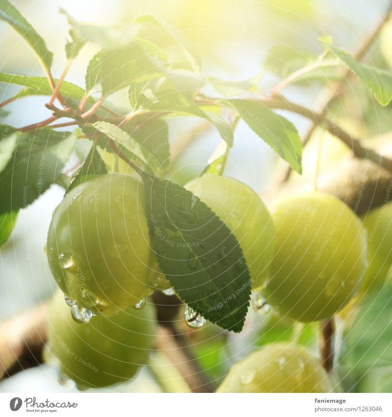 Morgens im Obstgarten Natur grün Sommer Blatt kalt Umwelt Wärme Gesundheit Frucht frisch Wassertropfen genießen Tropfen lecker Ernte Bioprodukte