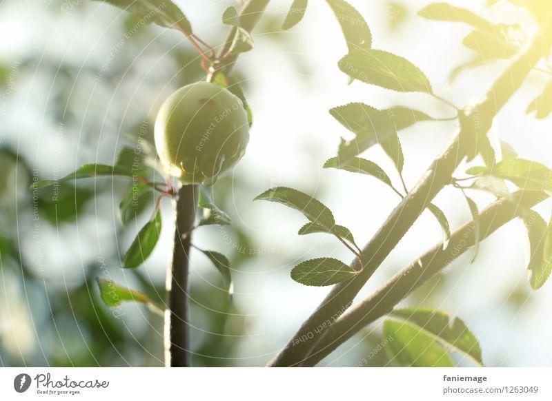 fressssh Umwelt Natur Sonnenlicht Sommer Schönes Wetter frisch Gesundheit Mirabelle Obstgarten Fallobst lecker Bioprodukte pflücken Erfrischung grün hellgrün