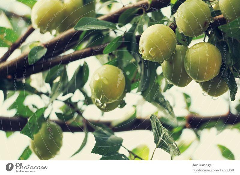 Obstgarten Umwelt Natur Wassertropfen Sommer Garten frisch Gesundheit Mirabelle Bioprodukte ökologisch grün hellgrün Zweige u. Äste lecker Erfrischung braun