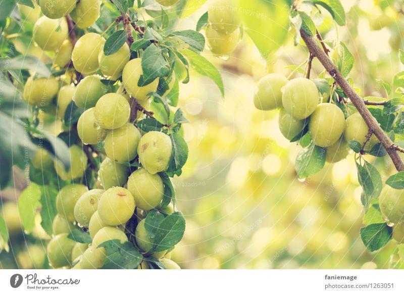 Mirabellen Natur Wassertropfen Sommer Schönes Wetter Garten Park frisch Gesundheit lecker nass saftig braun gelb grün Fallobst Obstbaum Frucht Zweig Ast