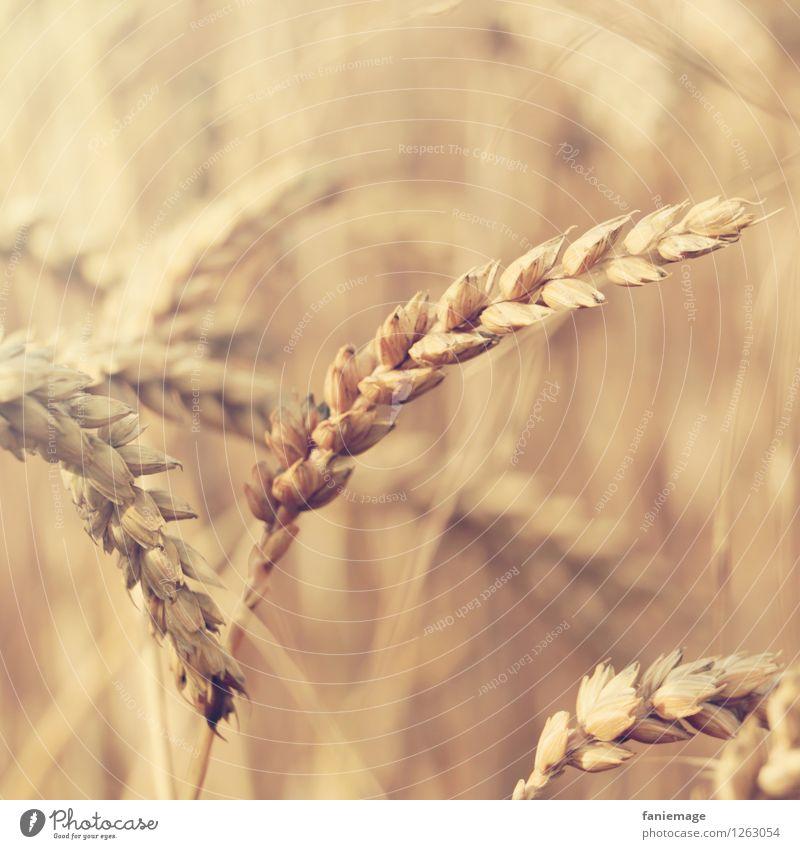 Ähre Umwelt Natur Sommer Schönes Wetter Feld Gesundheit Ähren Weizen Weizenfeld Nahaufnahme braun beige Detailaufnahme natürlich ökologisch Bioprodukte