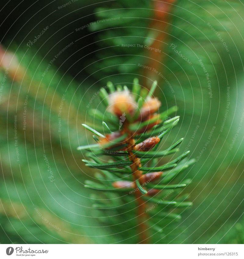 naddelbaum farrag Tanne Baum grün Holzmehl Natur Park Wachstum Frühling Umwelt Umweltschutz Zapfen Nadelbaum Forstwirtschaft Baumschule Sauerstoff Luft