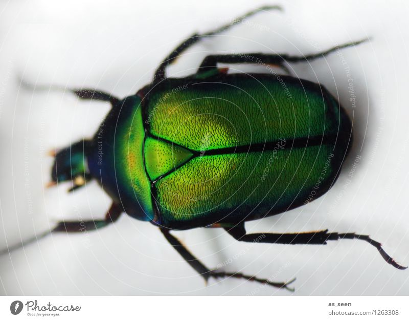Rosenkäfer Stil Leben Tier Käfer Insekt 1 Skarabäus glänzend krabbeln leuchten ästhetisch authentisch außergewöhnlich Ekel exotisch natürlich grün weiß Bewegung