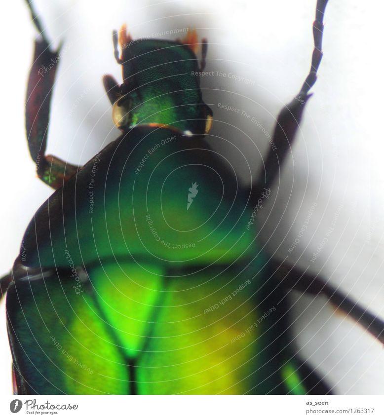 Grüner Käfer Halloween Tier Insekt Rosenkäfer 1 glänzend krabbeln ästhetisch außergewöhnlich bedrohlich Ekel exotisch grün Angst bizarr Natur schön Tod Umwelt