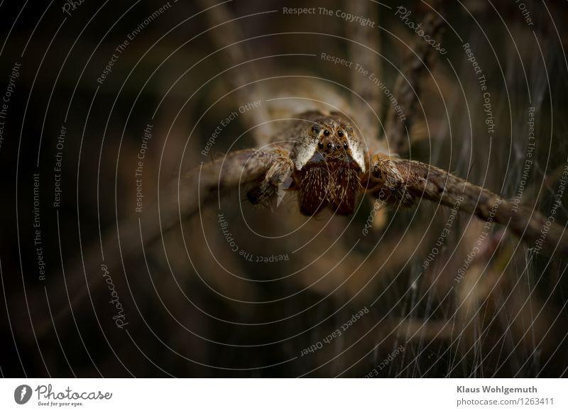Argusaugen Natur Sommer weiß Tier Wald Umwelt Auge Wiese Garten braun Park warten bedrohlich gruselig Ekel Spinne