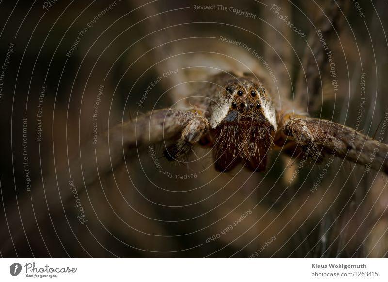 Du entgehst mir nicht... Umwelt Natur Tier Sommer Garten Park Wiese Wald Spinne Listspinne 1 beobachten Blick warten gruselig braun weiß Mandibel Auge Farbfoto