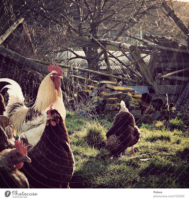 Siehst Du das Licht? bezaubernd Bauernhof Landwirtschaft Haushuhn Hahn Tier Nutztier Käfig gefangen Luft ökologisch auslaufen Gehege Dorf Vogel ländlich Feder