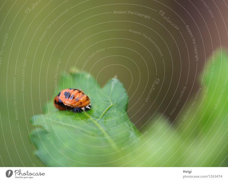 fast fertig... Tier Käfer Marienkäfer Entwicklung 1 Tierjunges Wachstum authentisch außergewöhnlich einzigartig klein natürlich grün orange schwarz ruhig Beginn