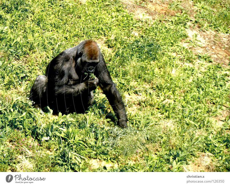 Gorilla gorilla gorilla Zoo Gras grün Affen Tier Säugetier Westlicher Flachlandgorilla Ernährung Western Lowland Gorilla grass monkey animal mamma eating
