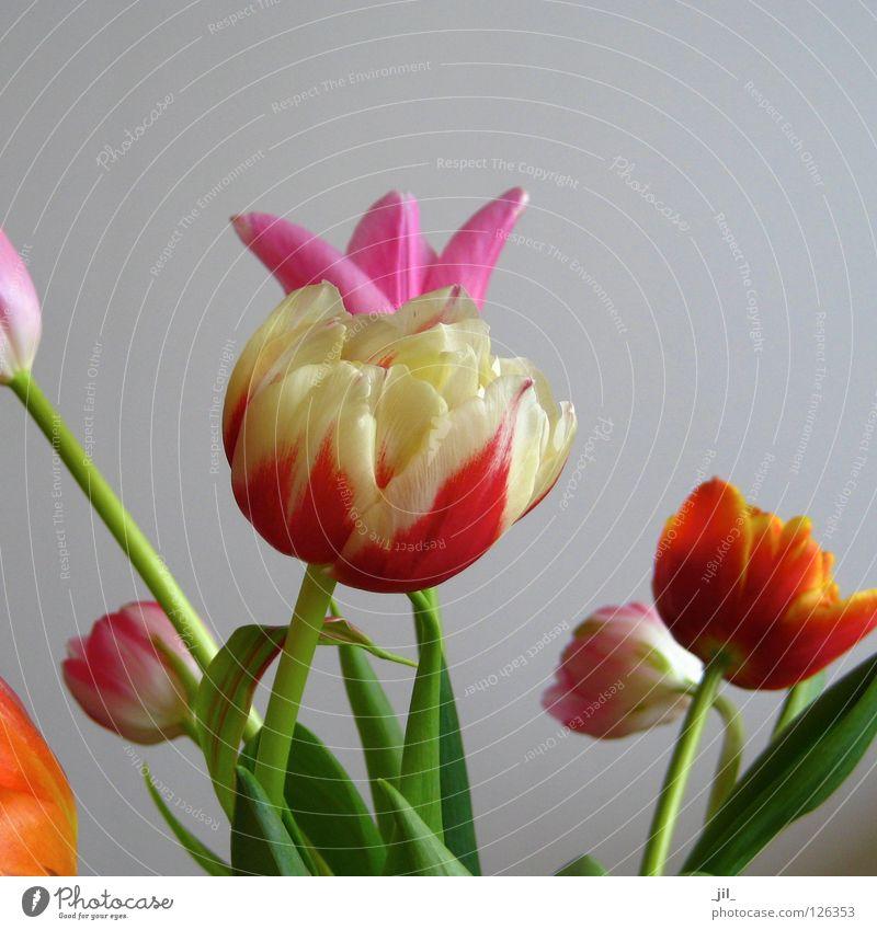 tulips schön Blume grün rot gelb Leben Blüte grau orange rosa mehrere Maske Tulpe Mischung Verschiedenheit