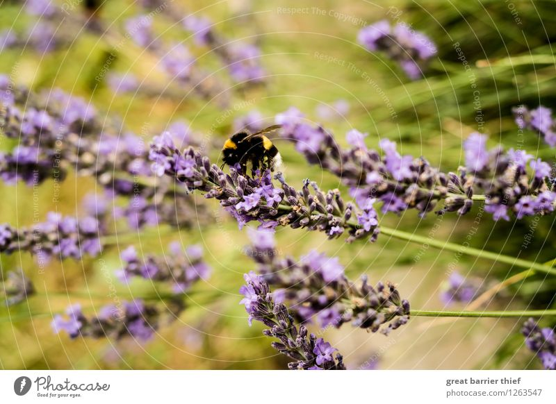 Hummel Szene Natur Pflanze grün Sommer Landschaft Tier Umwelt gelb Blüte Wiese Garten Arbeit & Erwerbstätigkeit gold Schönes Wetter violett Biene